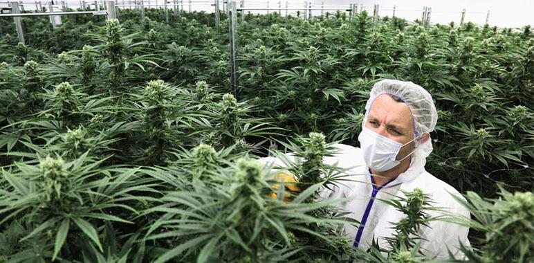 Плантация марихуаны